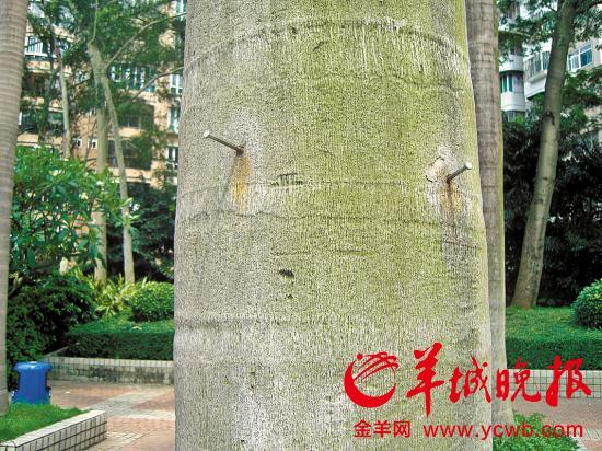 """公园树木雕像皆""""中招""""   27日,记者走访了广州天河公园"""