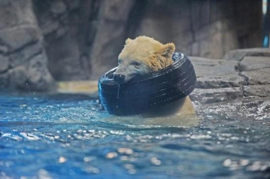武汉动物园北极熊被指饿得啃轮胎