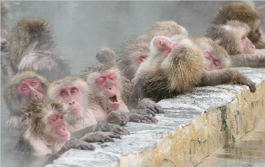 日本北海道函馆热带植物园群猴享受温泉