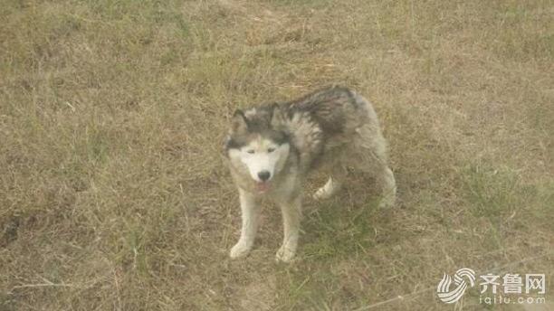 山东德州动物园狼舍现哈士奇 园方:它在狼群中拥有地位