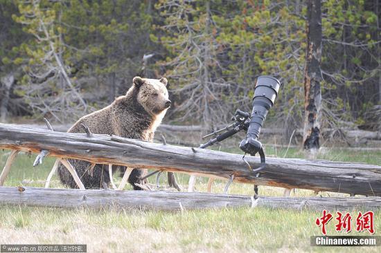 德国动物园明星灰北极熊