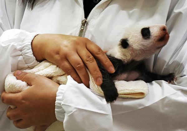 中国旅日大熊猫良浜生下宝宝 日本为幼仔发起全球征名活动