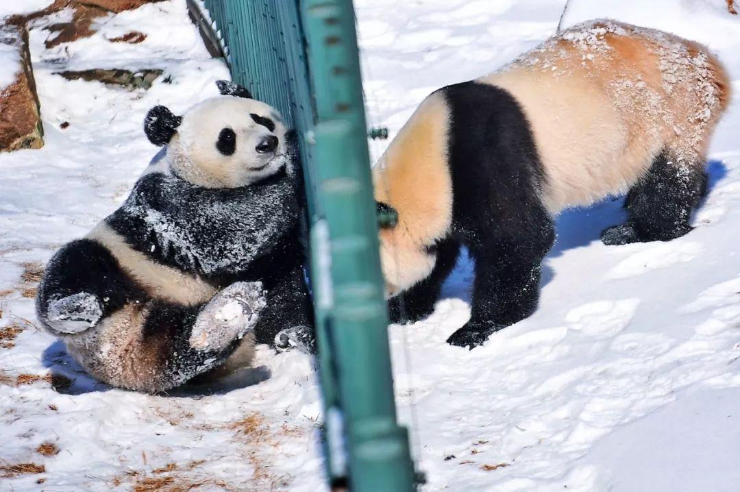 熊猫初次见到沈阳大雪惊呆了,饲养员:愣了好久后才开始撒欢