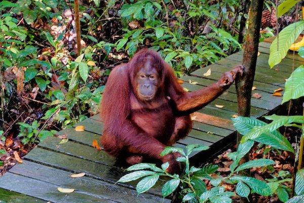 非洲大猩猩保护区游览暂停,类人猿也有感染新冠风险